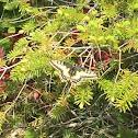 Oregon swallowtail