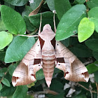 Achemon Sphinx Moth