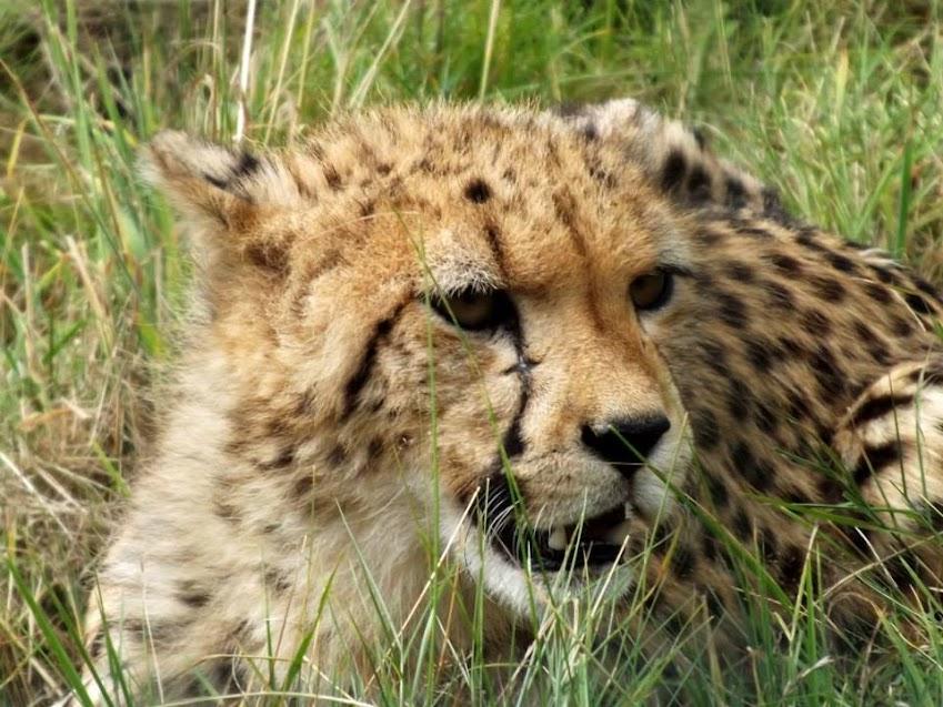Jeune guépard d'Afrique du Sud, la Boissière du Doré - Tous droits réservés