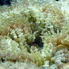 Beaded Sea Anemone