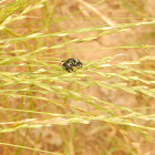 Bold Jump Spider