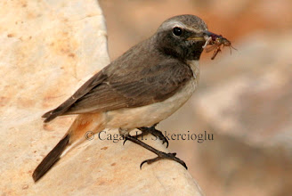 Photo: Red-tailed Wheatear