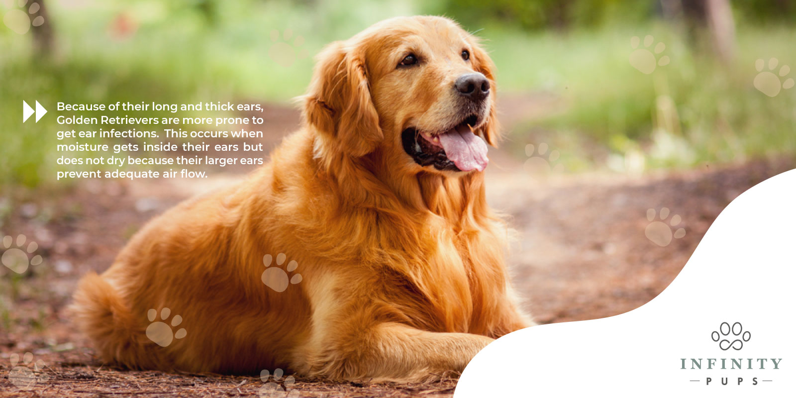 golden retrievers are prone to ear infections because of their long, thick ears