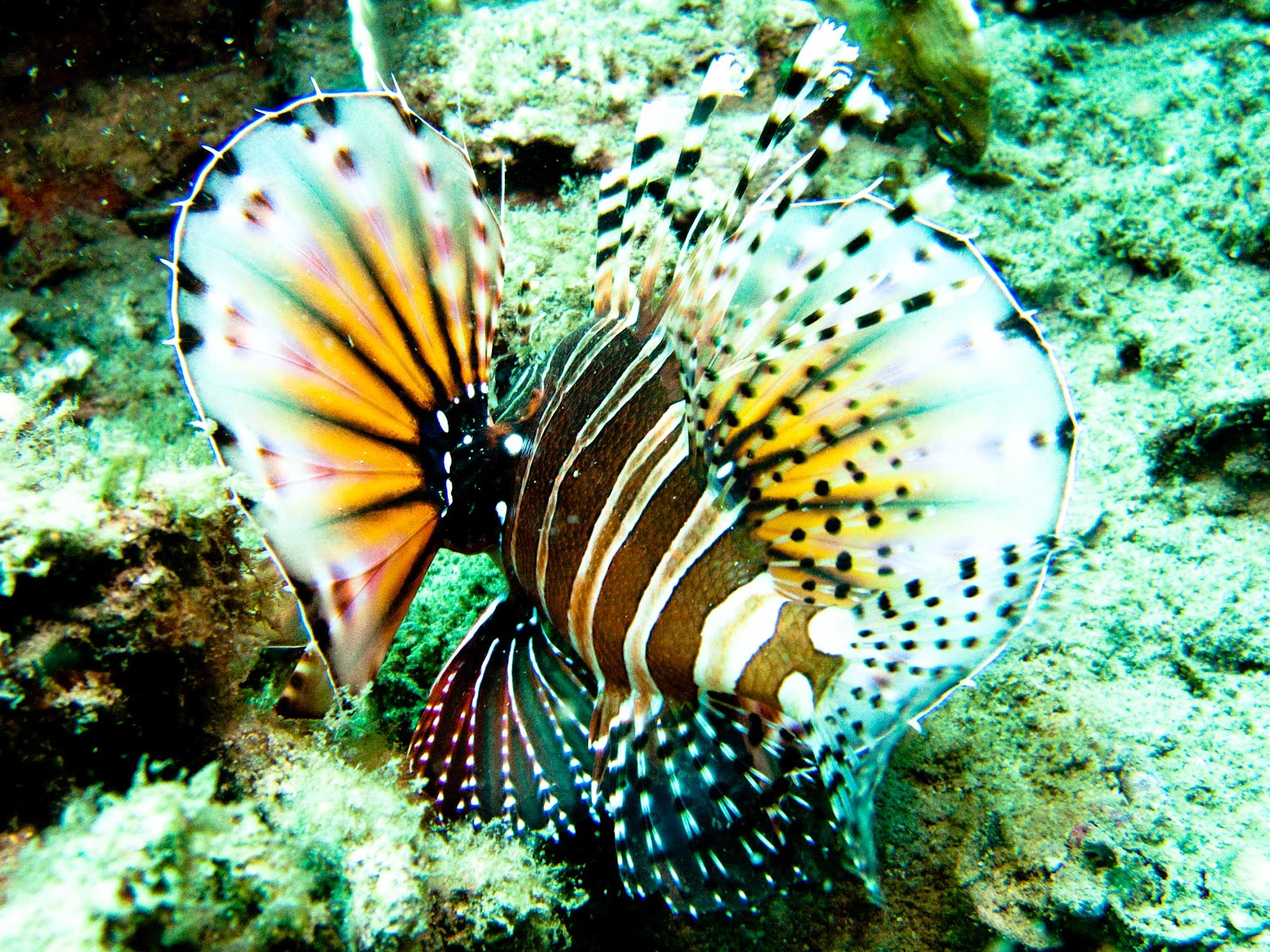 Lionfish caught when doing scuba diving in Nha Trang