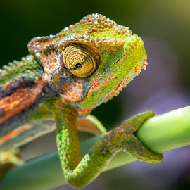 Cape dwarf  by Juan Diedericks - Animals Reptiles ( chameleon, south africa, cape town, reptile )