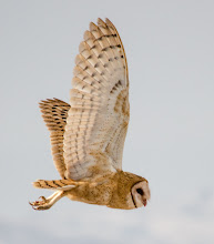 Photo: Barn Owl