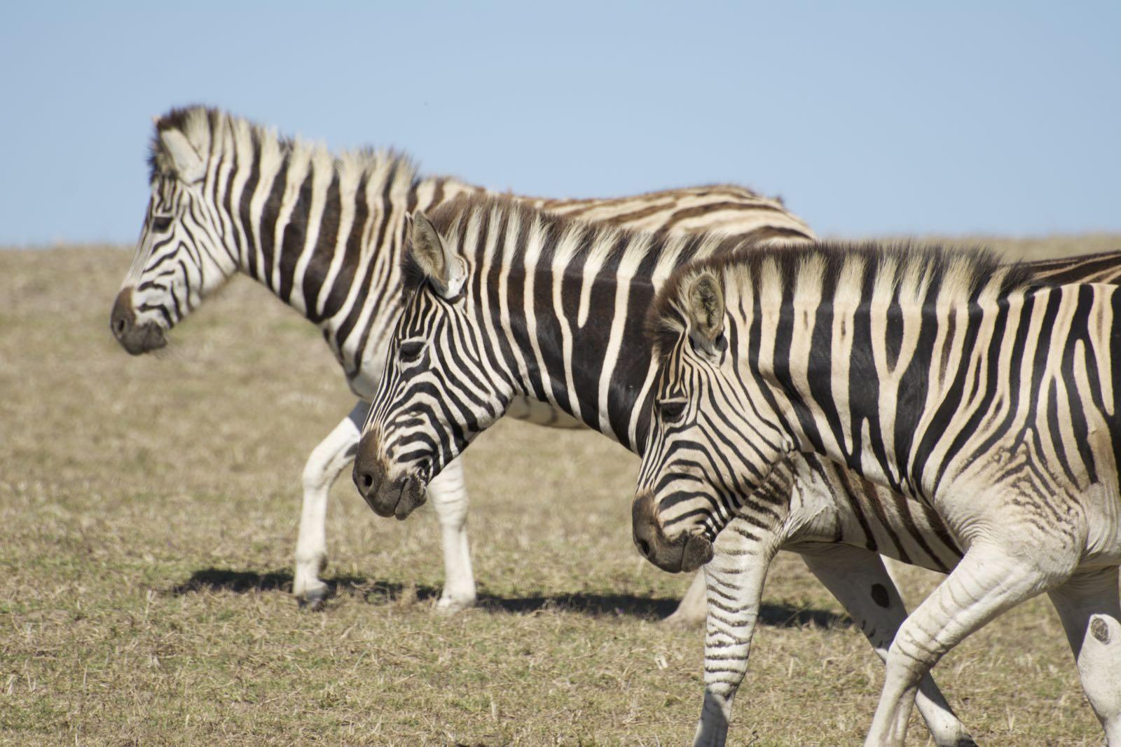 Steppen Zebra