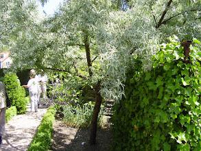 Photo: De winterharde olijf in kerktuin.