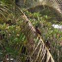 นกเอี้ยงสาริกา Common Myna
