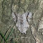 sad underwing moth