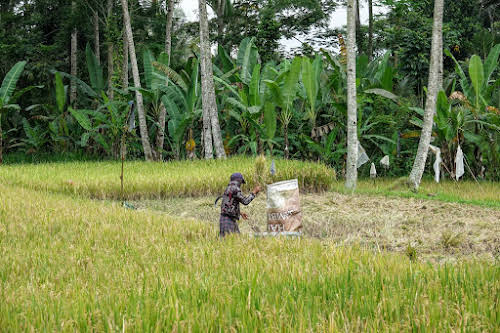 Indonesia. Bali Tegalalang Rice Terraces. Balinese rice field worker shaking rice husks