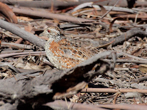 Photo: Painted Button-quail  - Mulligan's Flat