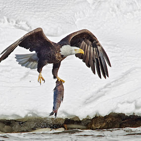 One Talon Grab by Mark Theriot - Animals Birds