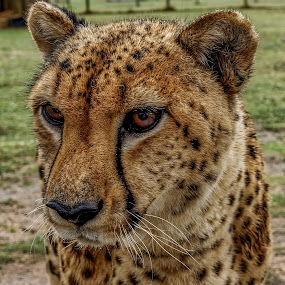 Here kitty by Peter Schoeman - Animals Lions, Tigers & Big Cats ( big cat, spots, wild, cheetah, fur, animal )