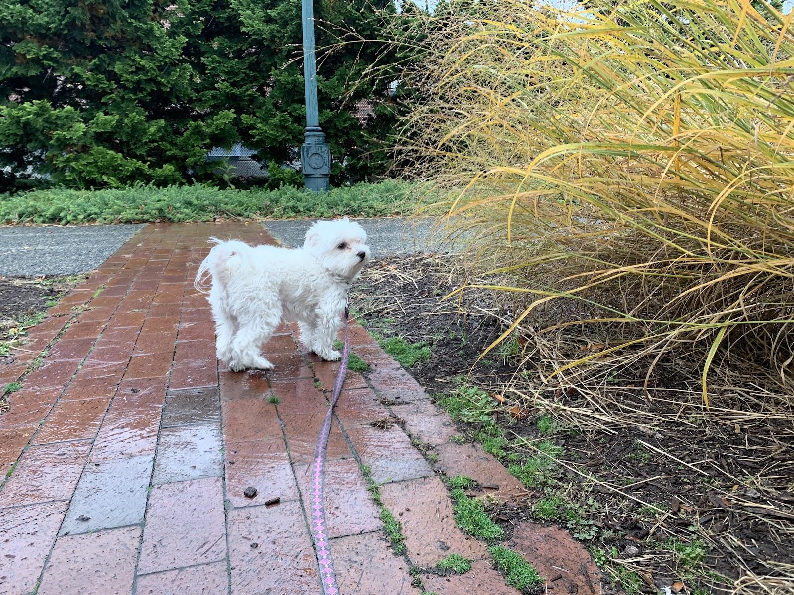 Bela loves the tall grasses at the Binford Street Channelside Park.