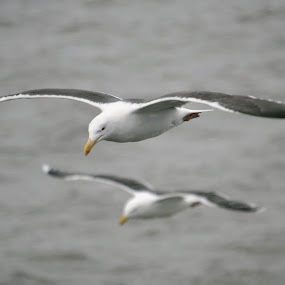 Mirrored by H. Ava-Lyn Smith - Animals Birds ( nova scotia, ferry, pwcfoulweather, sea, seagulls, ocean, gulls, rain )
