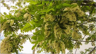 Photo: Salcâm (Robinia pseudoacacia) - din Turda, pe Str. Aviatorilor - 2019.05.24