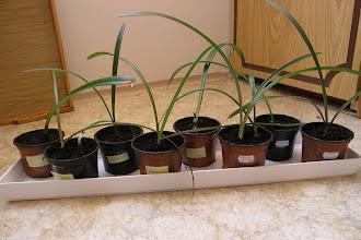 Photo: Semenáčky od Janky a Onky po jarním přesazení 2011 průměry: Bílá x Pasadena:1,6cm Tropic oranž x Dancing Queen:1,6cm a 1,4cm Charisma:1,1cm  Janka Červený:1,6cm Prelude x Susan:1,9cm červenýxSanRemo:2cm a 1,4cm EvergreenxGiraffe:1,8cm červenýxMinerva:1,5cm