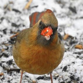 MRS. by Kathy Woods Booth - Animals Birds ( upclose, bird shots, bird photography, up close, cardinal, birding )