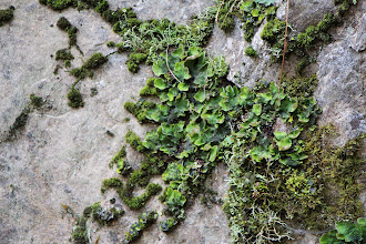 Photo: Shrek's Ear lichen