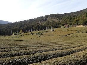 春日の茶畑