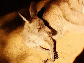 """Photo: 021-Kangourou au """"Featherdale Wildlife Park"""""""