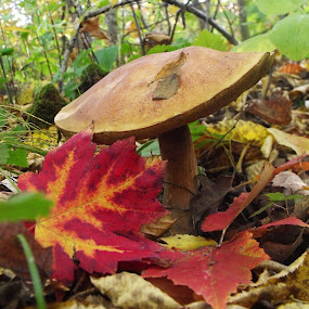 fall mushroom by Carol Keskitalo - Novices Only Flowers & Plants ( mushroom, fungi, fall colors, fall, leaves )