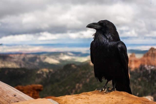 Crow, Raven, Bird, Black, Animal, Nature, Feather, Death