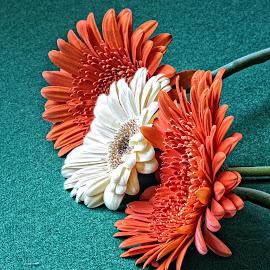 DVDS gerber 05 by Michael Moore - Flowers Flower Arangements