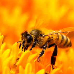 Honey Bee by Bill Frische - Animals Insects & Spiders ( orange, bee, insect, flower, honey )
