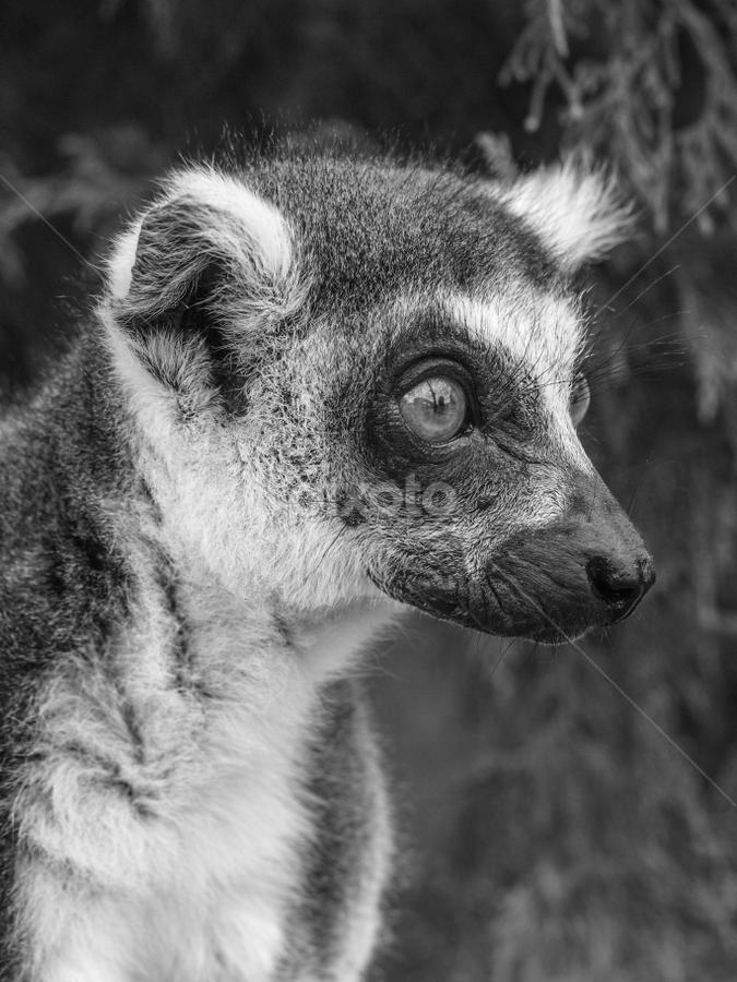 Lemur by Garry Chisholm - Black & White Animals ( lemur, primate, nature, mammal, garry chisholm )