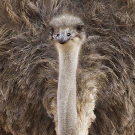 Ostrich close up  by Kedar Banerjee - Novices Only Wildlife ( potrait, ostrich, nature, bird, wildlife,  )