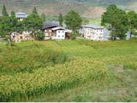 Photo: Four varieties of paddy grown with SRI methods at Bhutan's College of Natural Resources research farm during the 2008 season. [Photo courtesy of Kharma Lhendup, Bhutan, 2008]