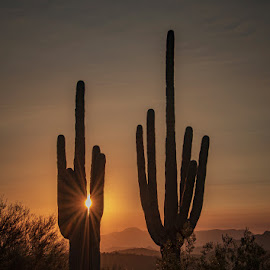 Saguaro at Sunrise by Rita Taylor - Landscapes Deserts ( sunrise, saguaro, desert )