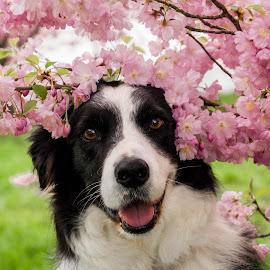 Blossomdog by Thyra Schoonderwoerd - Animals - Dogs Portraits ( lovely, blossom, girlygirl, dog, border collie )