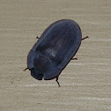 Pie-dish Beetle -2