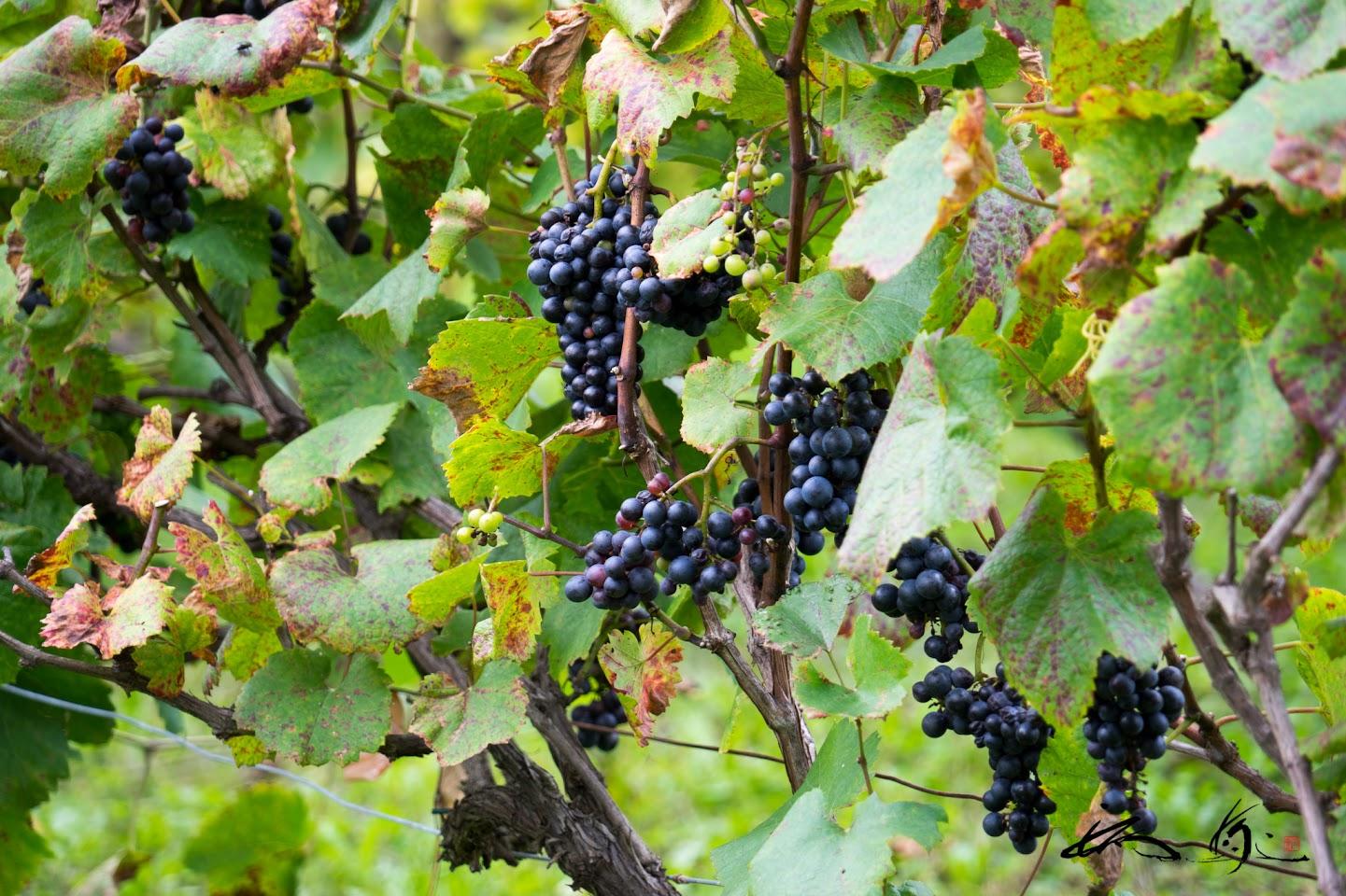 ワイン用ブドウ畑