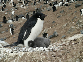 Photo: An adelie penguin on its nest.  Many animals have been seen adopting other animals offspring in the wild. And some penguin species will even fight each other to get the chance to adopt a newborn. The innate need for caring can be too strong to resist.  People: we have many kidnapping cases where a woman would kidnap another woman's child. And some mothers have been seen loving their sons even if they grew up with a very weak morality or focus. The need for caring for a young is one of the strongest needs animals have as or goal in life is to reproduce our genes successfully.
