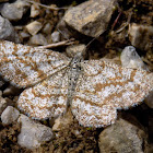 Common heath ♀