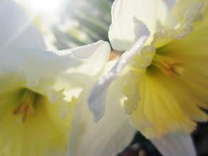 Photo: Closeup of two yellow and white daffodils at Wegerzyn Gardens MetroPark in Dayton, Ohio.