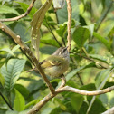 Blyth's Leaf Warbler