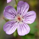 American Brooklime Flower