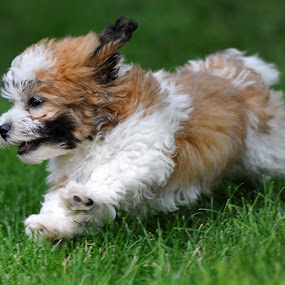 Full of Energy by Tom Vogt - Animals - Dogs Puppies ( puppy running grass, , #GARYFONGPETS, #SHOWUSYOURPETS )