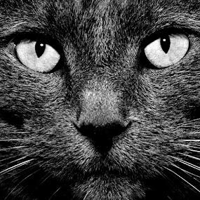 Vled B&W by Michael Cowan - Black & White Animals (  )