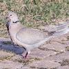 Collared Dove; Tórtola Turca
