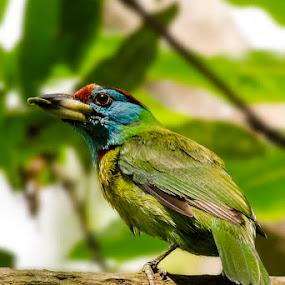    Blue Throated Barbet    by Indra Maji - Animals Birds