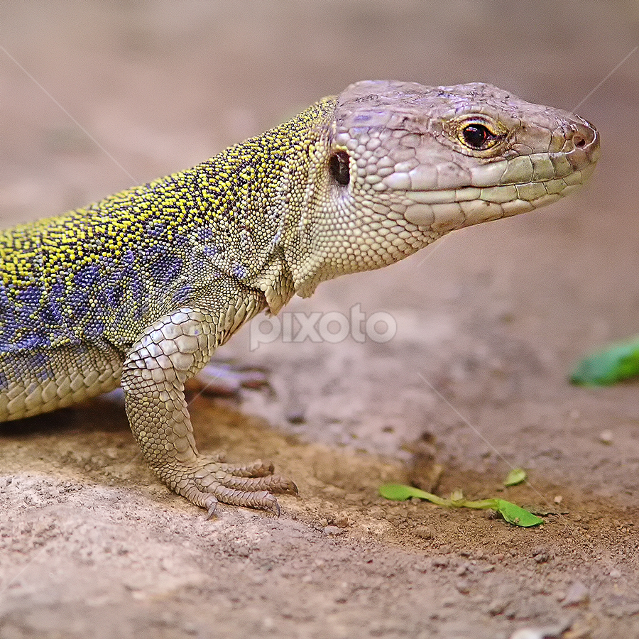 Lézard ocellé by Gérard CHATENET - Animals Reptiles
