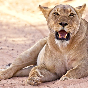 Lioness slumber by Anne-Marie  Fuller  - Animals Lions, Tigers & Big Cats ( lioness, nature, nature up close, nature photography, lion, wildlife,  )