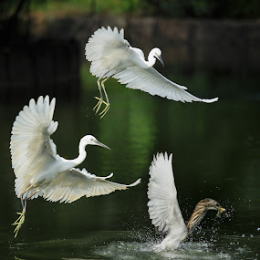 Chasing by Stanley Loong - Animals Birds ( flying, chasing, catch, catching, birds,  )
