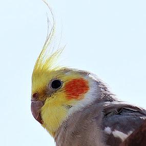Cockatiel by Odilon Simões Corrêa - Animals Birds ( orange, animals, cockatiel, colors, nymphicus hollandicus, pwctaggedbirds, white, yellow, birds, nature, australia, grey, brown, pale red )
